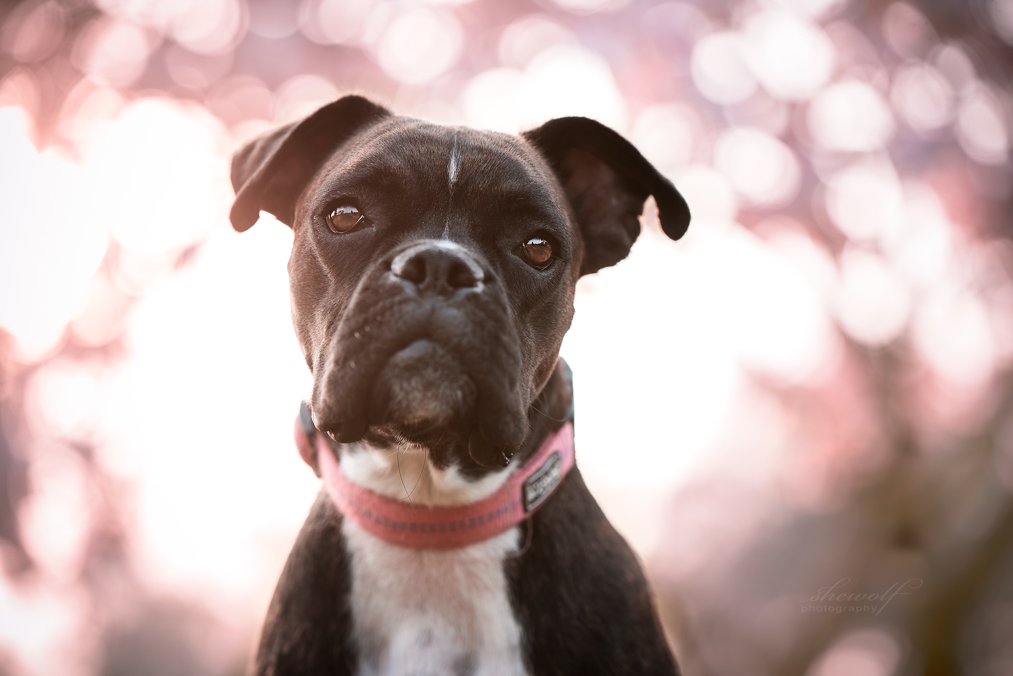 Hundefotografie Boxer Mädchen Lali vor Magnolie mit Bokeh